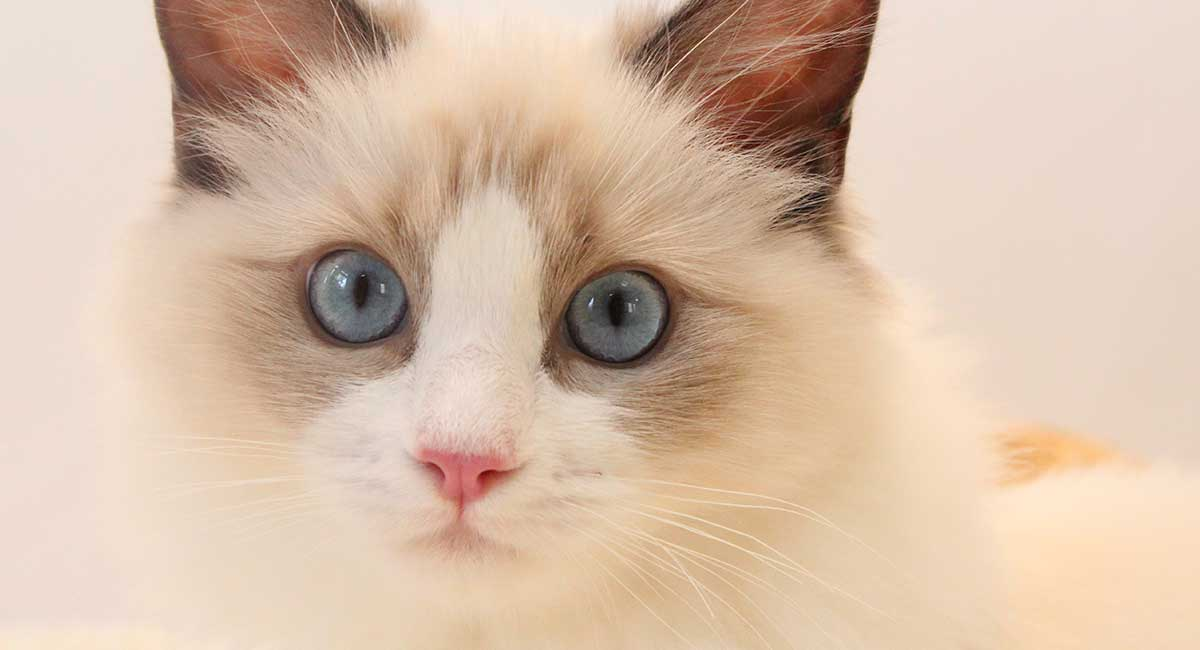 Ragdoll Cats A Complete Guide To The Ragdoll Cat Breed