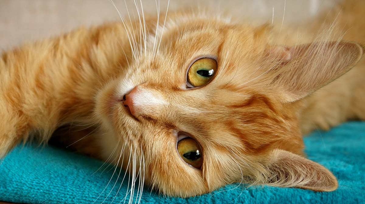 Why do cats purr? | Learn why and more at Litter-Robot Blog