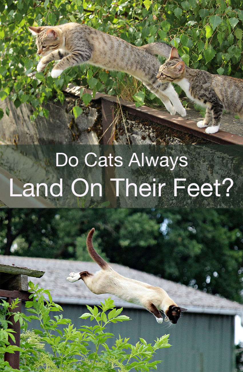 Do cats always land on their feet when they fall - find out - lots of fascinating facts about cats here