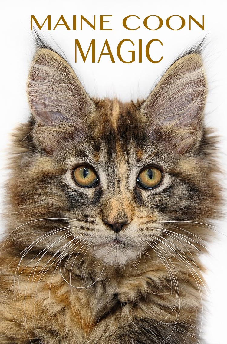Explore the amazing variety of Maine Coon coat colors in this guide to Maine Coon cats