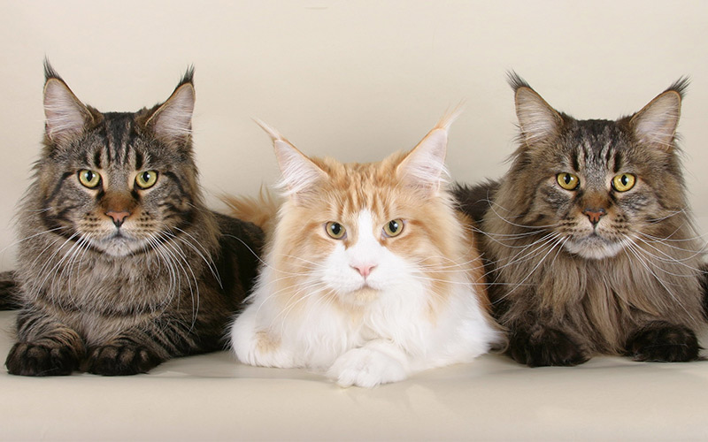 Long Haired Cat Breeds - The friendliest cat breed