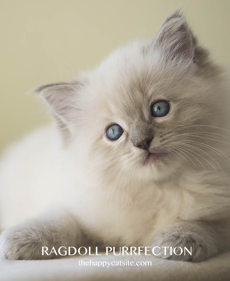 Ragdoll kittens are beautiful and sweet natured