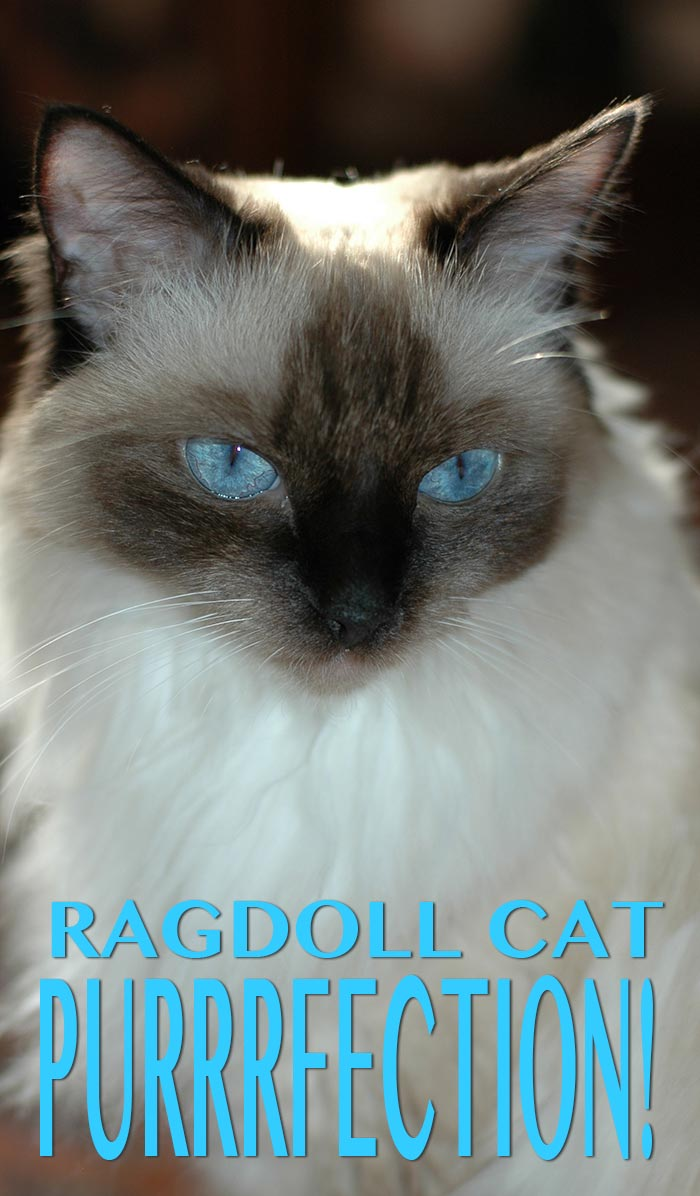 A look at the popular and beautiful Ragdoll Cat breed