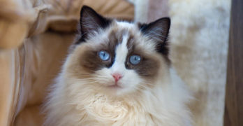 Ragdoll Cats – A Complete Guide