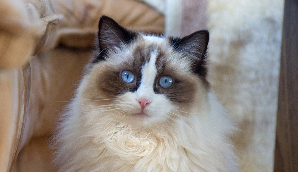 a8a16edb8b Ragdoll Cats - A Complete Guide From The Happy Cat Site
