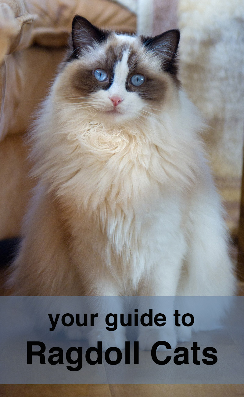 Ragdoll Cats - A Complete Guide To The Ragdoll Cat Breed