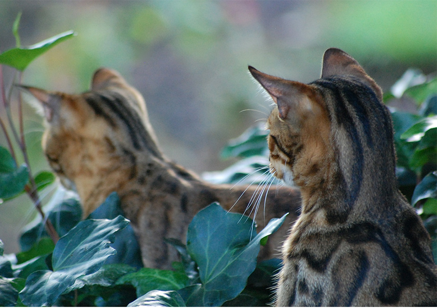 Where Can I Buy A Bengal Cat In London