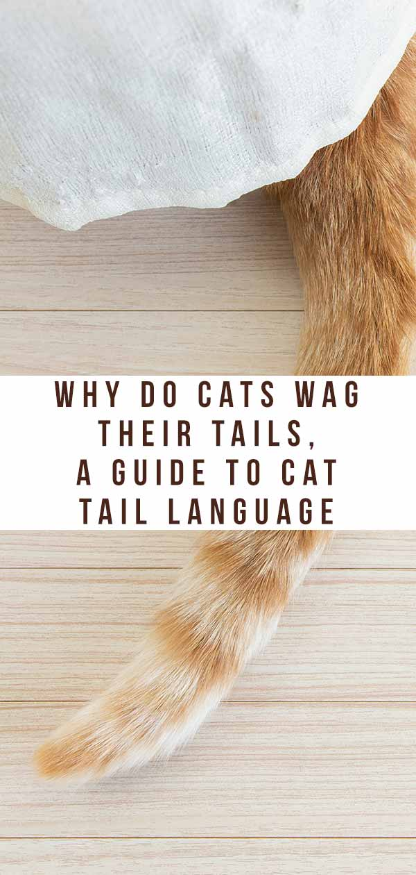 what does it mean when a cat wags its tail