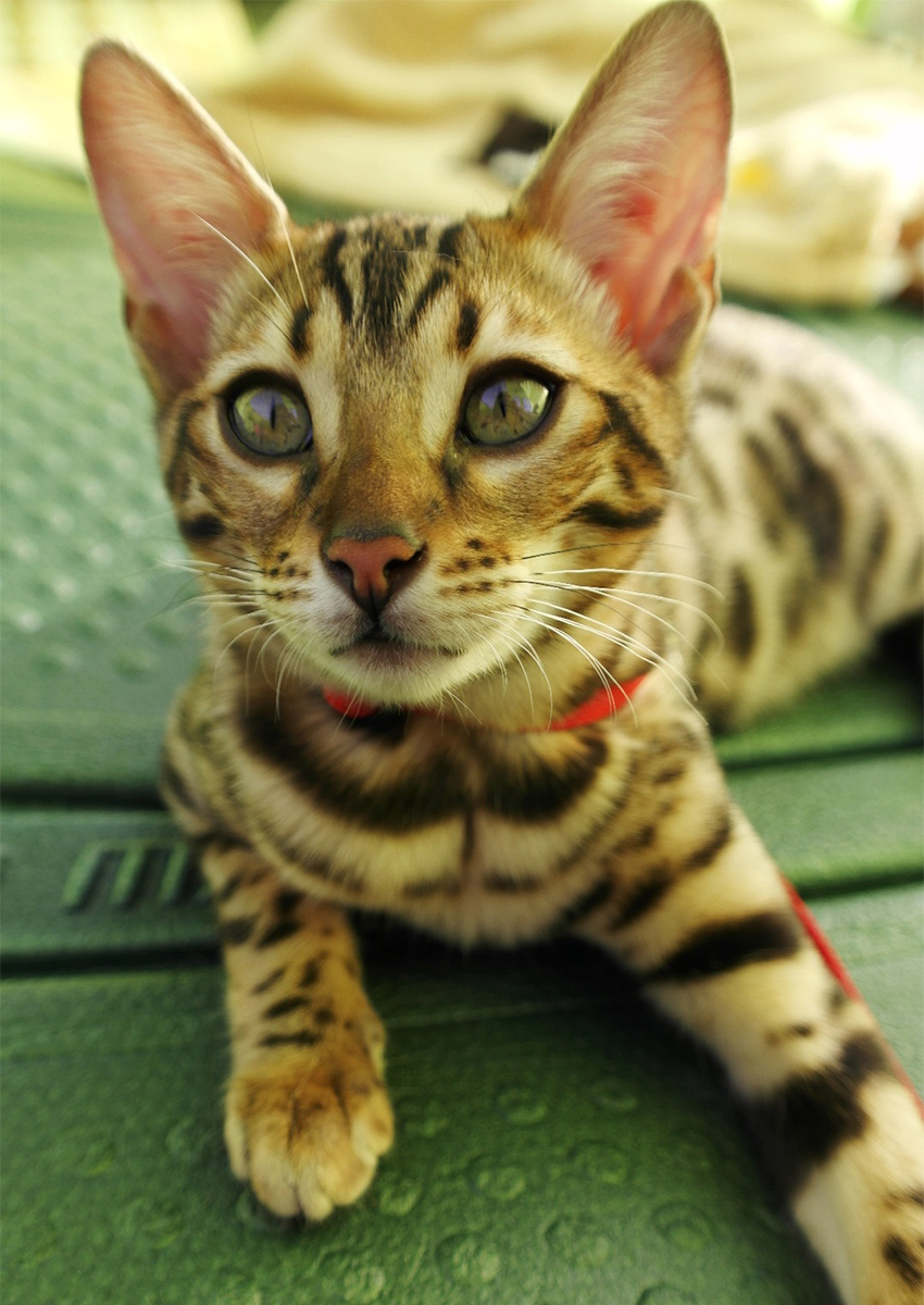 Bengal Cats - The Happy Cat Site