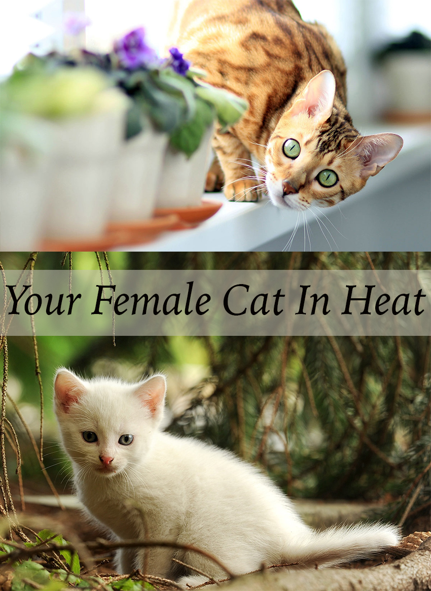 What to expect as your female kitten grows up, how to recognize when she goes into heat, and the importance of birth control.