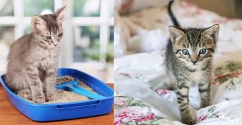 Cat Toilet Training: How To Potty Train A Kitten