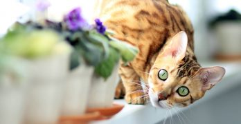 Your Female Cat In Heat
