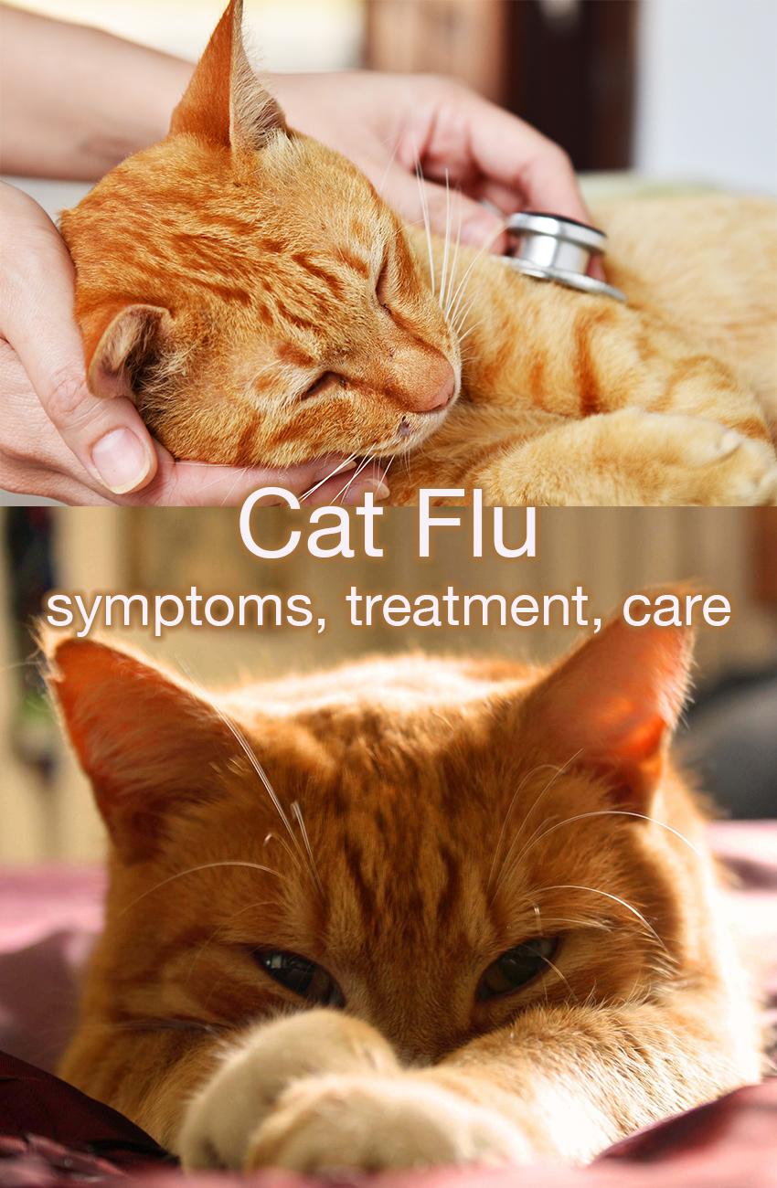 Cat Flu Symptoms Treatment And Care The Happy Cat Site