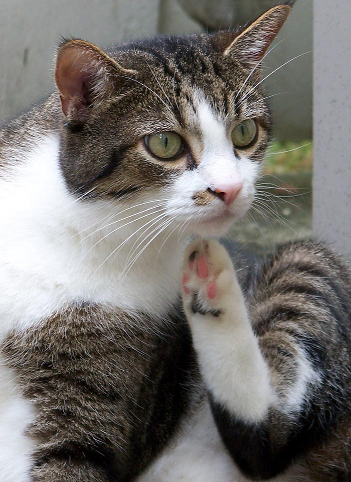 Some cat allergies cause itching or skin irritation. Find out more in our guide: Can Cats Have Allergies