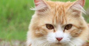 Cat Fleas and Flea Treatments for Cats and Kittens