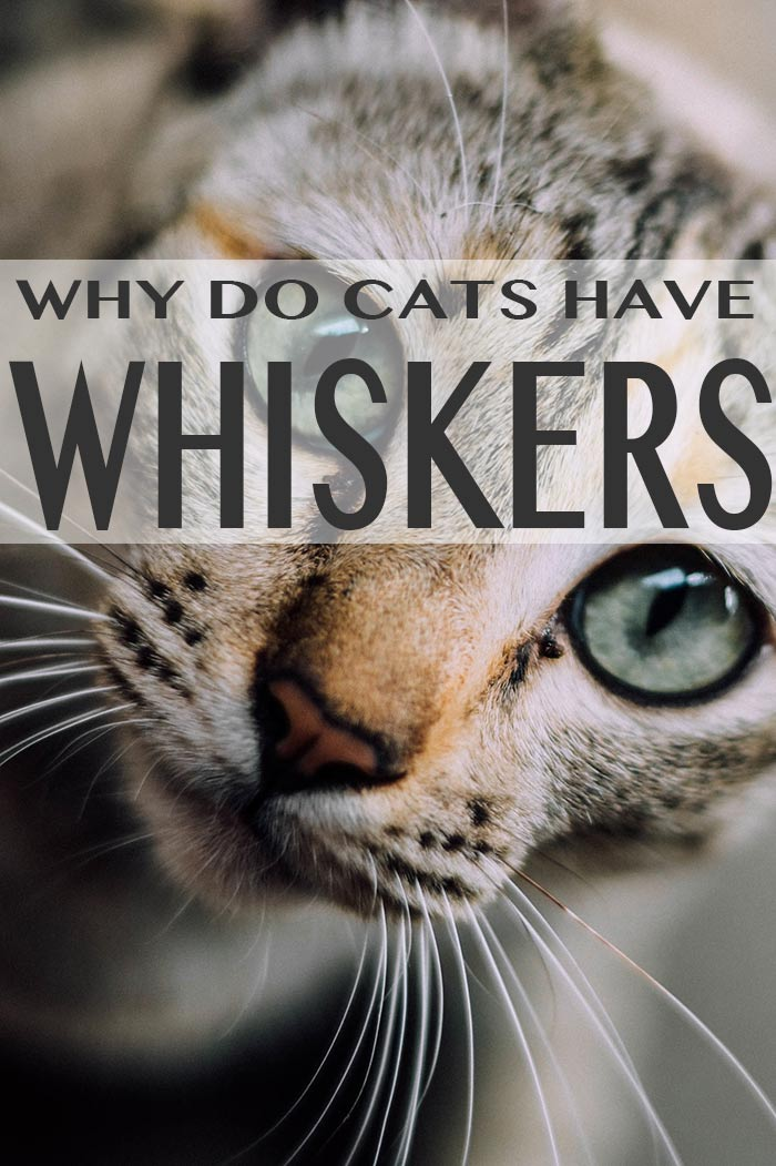 The Cat's Whiskers - An FAQ and part of the Happy Cat Site's Cat Facts and Fun Series