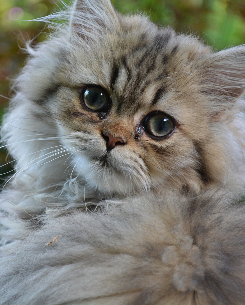 persian cat mix