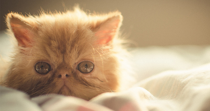 long haired cat breeds - persian kitten