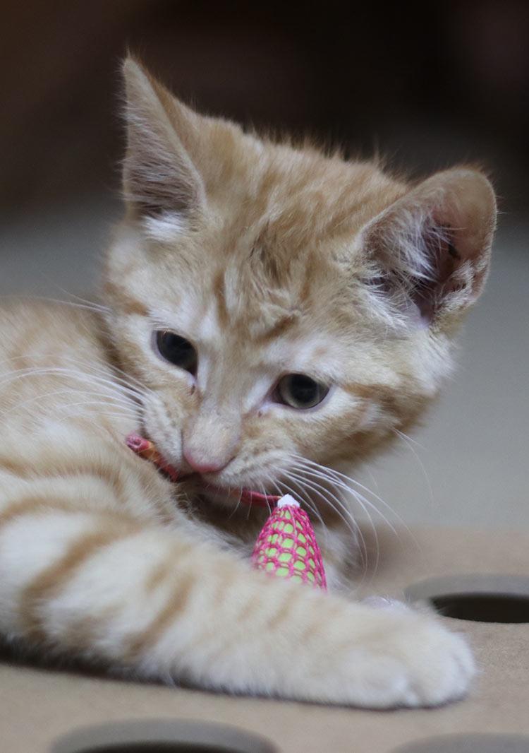 Billy the kitten enjoying his toys