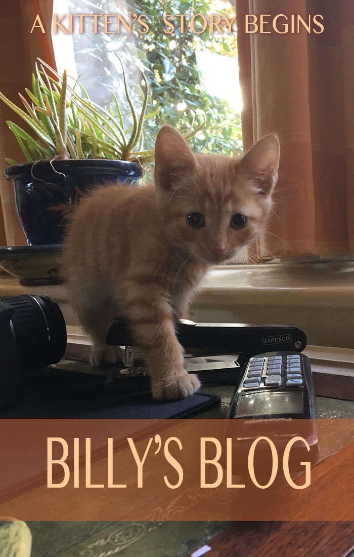 The story of a ginger kitten starts here on Billy's Blog