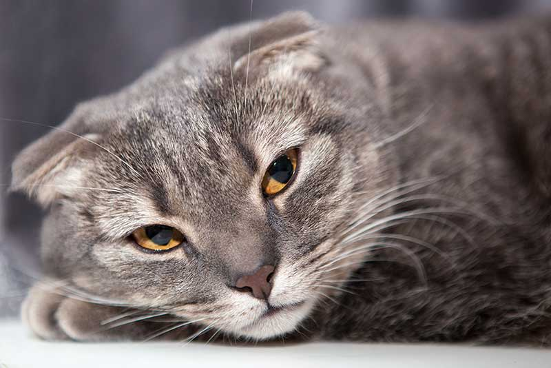 scottish fold cat - grey tabby