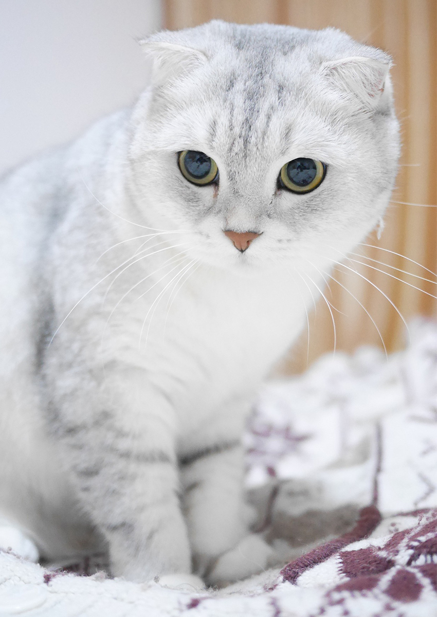 Scottish Fold Cats A Complete Guide The Happy Cat Site