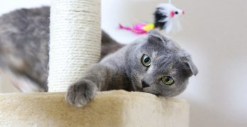 Scottish Fold Cats: A Complete Guide