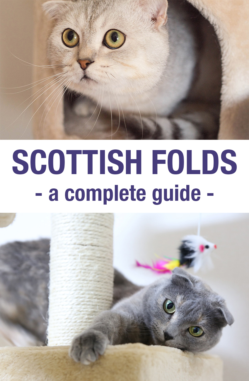 A review and guide to the Scottish Fold breed of cat