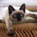 Siamese Cats: A Complete Guide