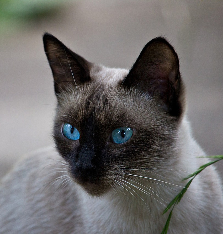 Siamese Cats A Guide To Caring For Siamese Cats