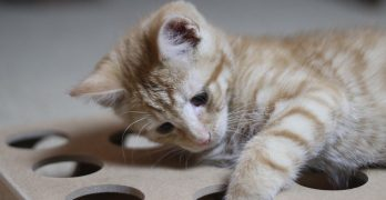Twelve Week Old Kitten – Billy And His Puzzle Box