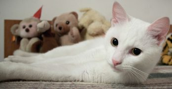 Are white cats all deaf? Find out in this interesting article