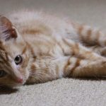Three Month Old Kitten – Billy Enjoys His Toy Mice