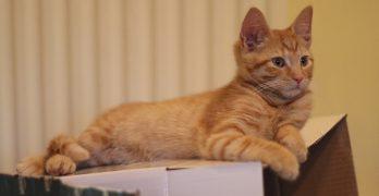Fourteen Week Old Kitten: Billy Gets His Final Shots
