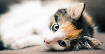 Are All Calico Cats Female?  The Gender and Color Link In Female Cats