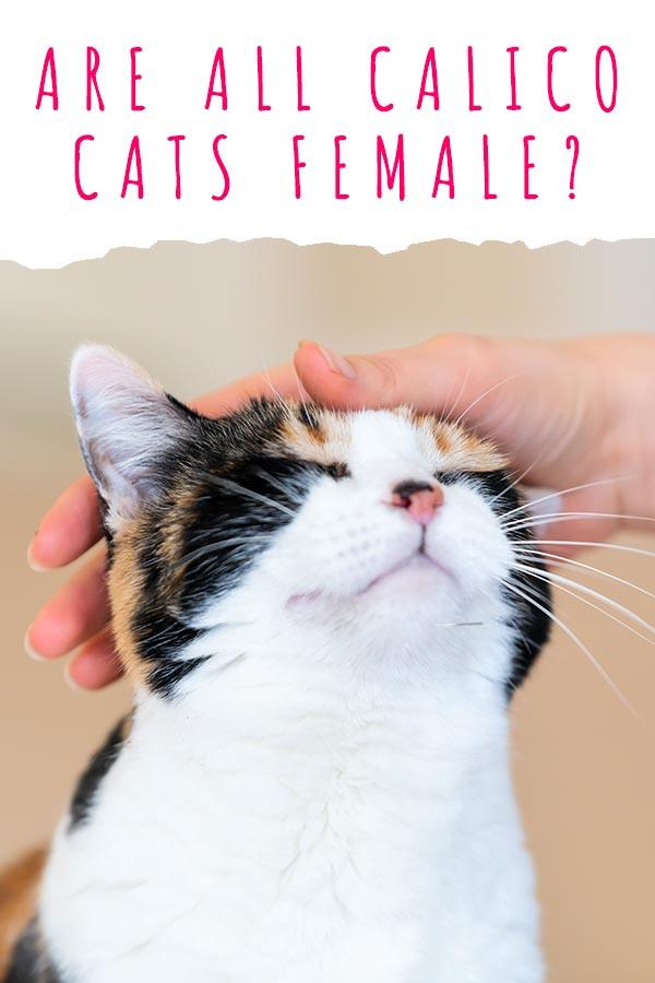 are all calico cats female