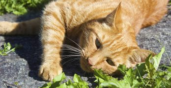 Are All Ginger Cats Male? The Link Between Coat Color and Gender In Boy Cats