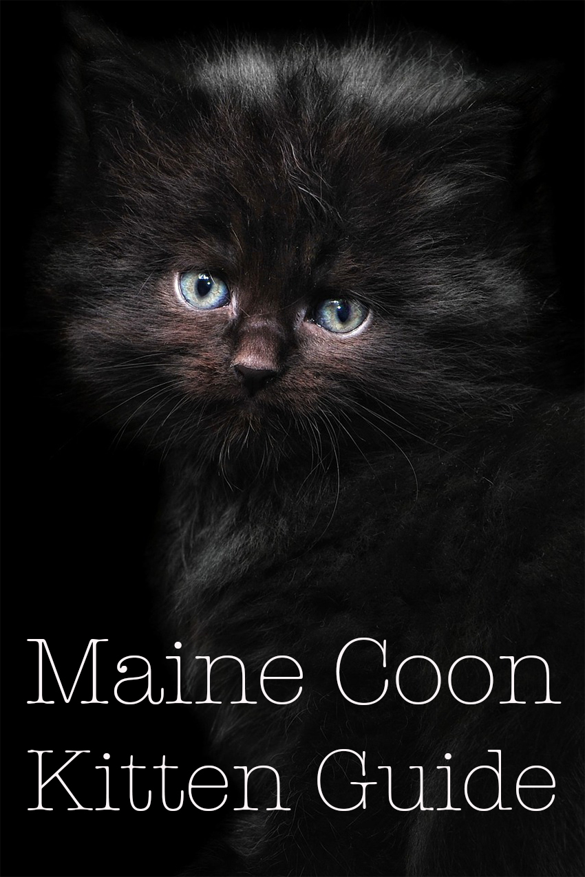 This black Maine Coon Kitten will grow into a beautiful and larger than average cat