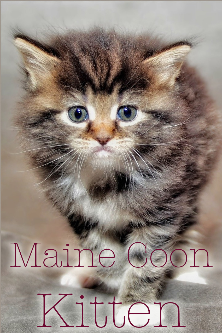 Maine Coon Kittens Price may vary depending on the breeder and whether or not you want a registered pedigree cat