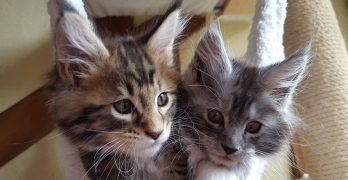 Maine Coon Kittens: Choosing And Raising Your Maine Coon