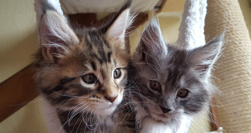 Maine Coon Kittens Choosing And Raising Your Maine Coon