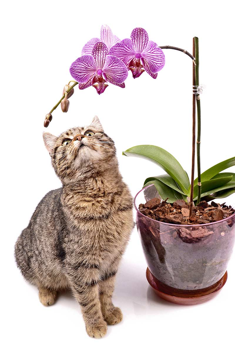 Tabby cat and a pink orchid
