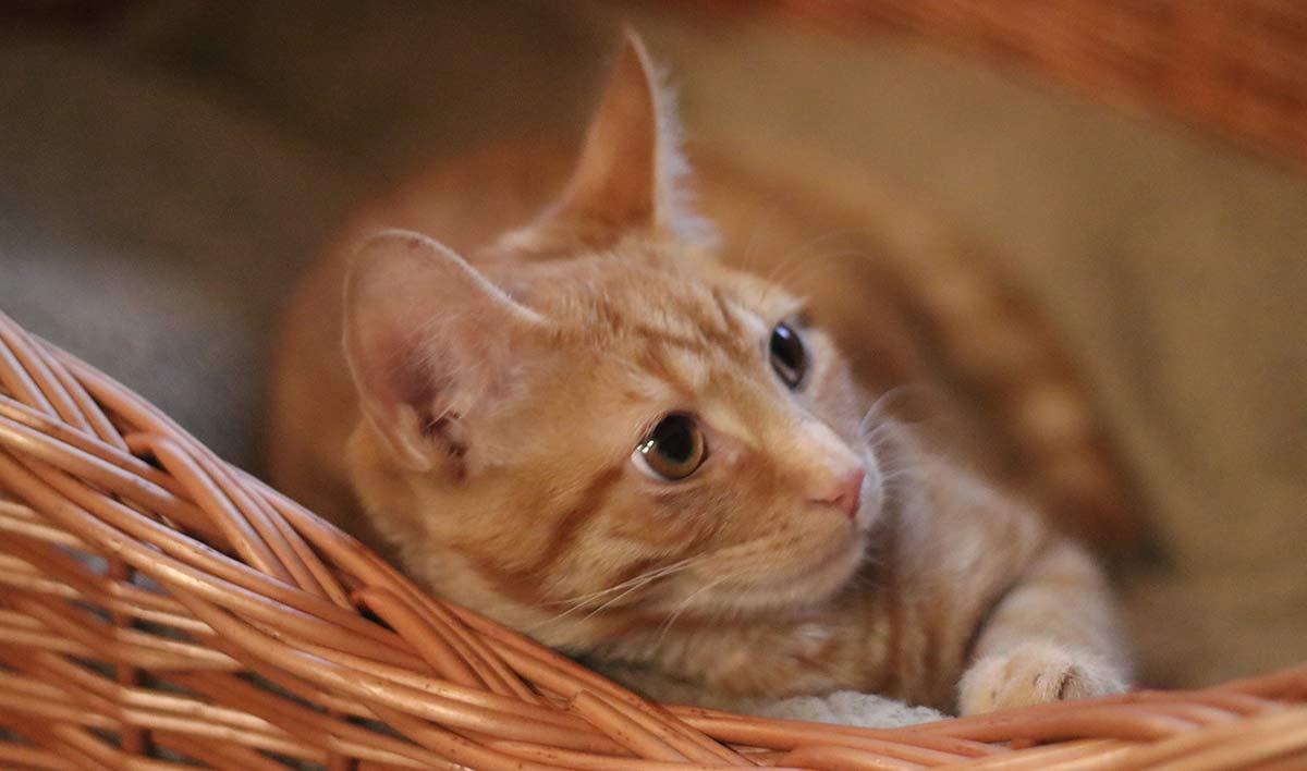 Billy the kitten is neutered