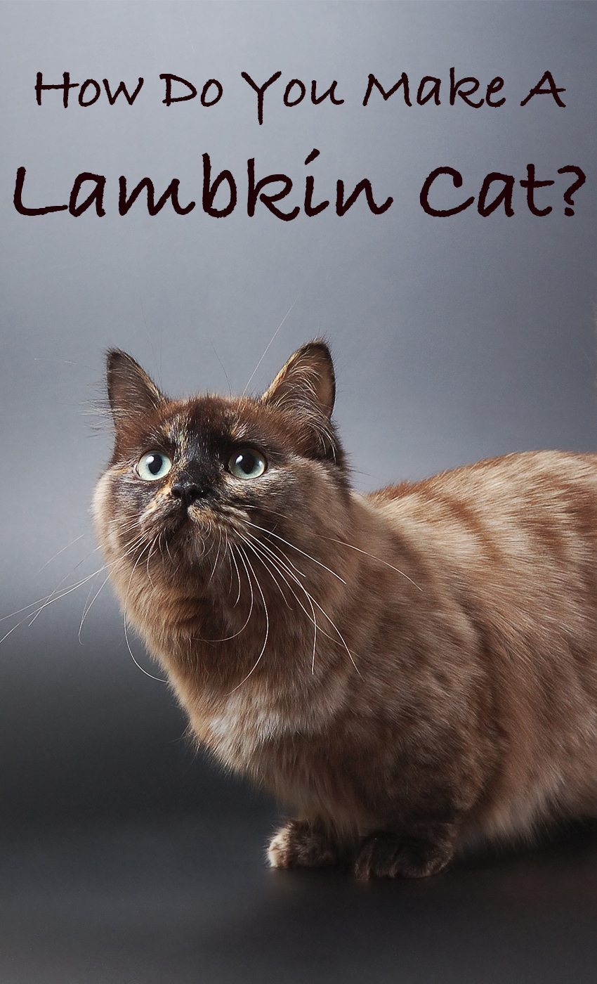 Lambkin Cats - A Selkirk Rex Munchkin cat mix breed