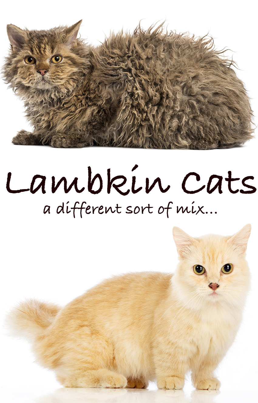 Lambkin Cat Mixed Breed Information.
