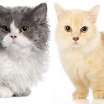 Lambkin Cat – A Guide To Lambkin Cats And Kittens