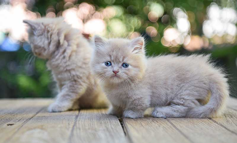 Teacup Cats and Miniature Cats - The Happy Cat Site