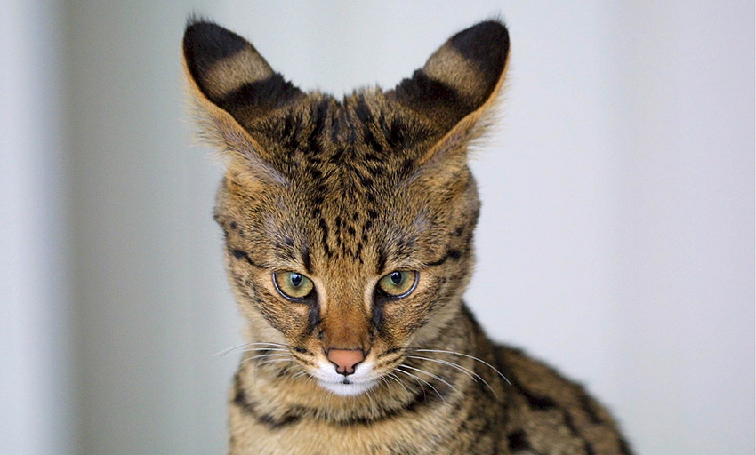 Savannah cats have very distinctive ear shapes and markings.