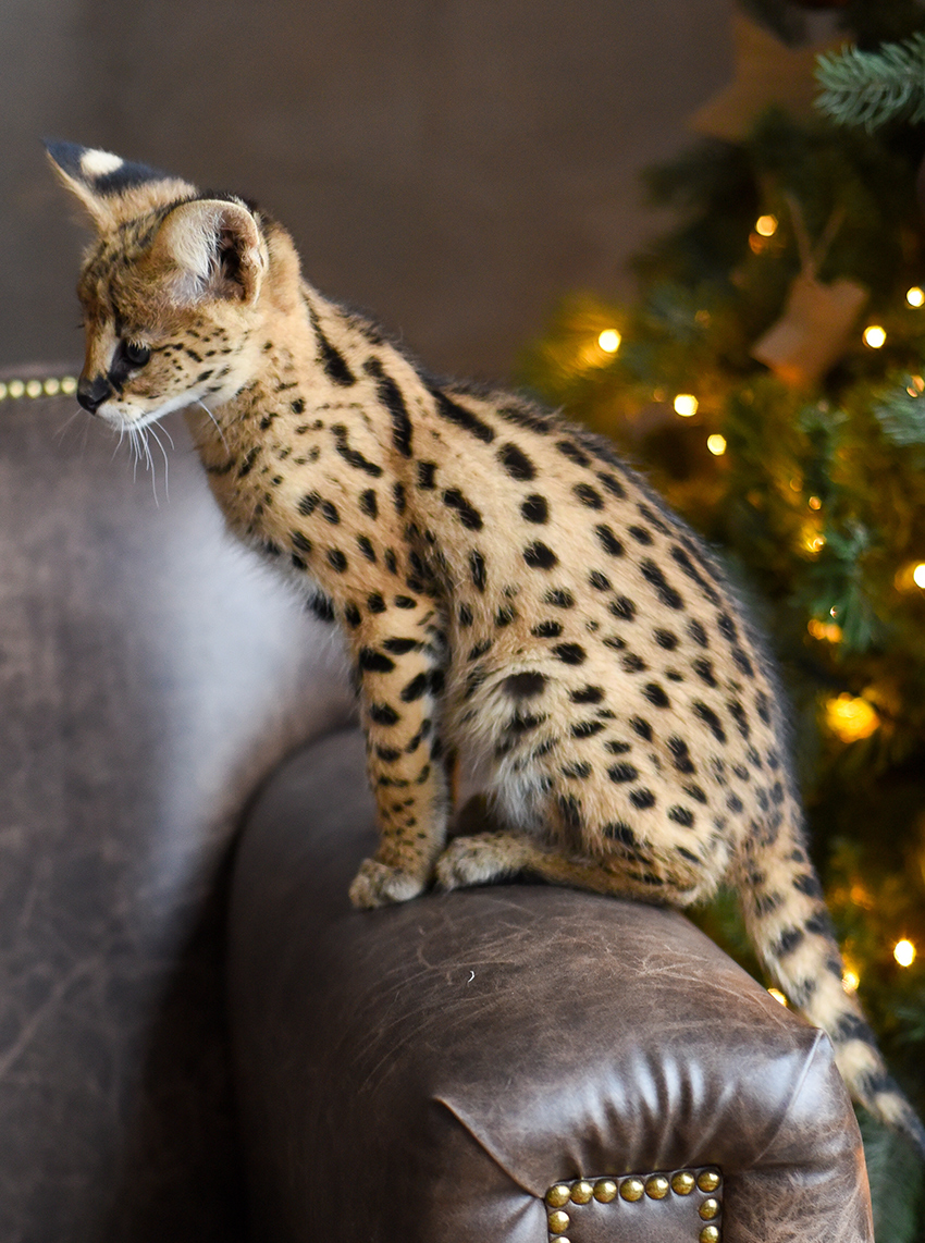 Savannah cat price is very high compared to your usual domestic cat, due to the difficulty of breeding the earlier generation crosses.