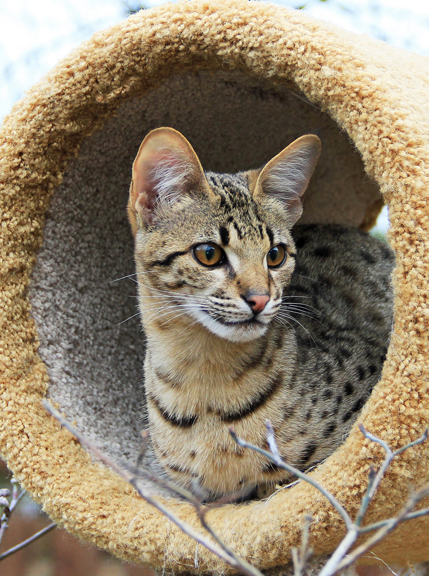 Savannah Cat Lifespan